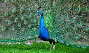 Породи павичів — звичайний, яванський, конголезький, відео