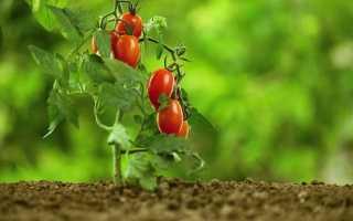 Сорти і гібриди низькорослих томатів, або Помідори для ледачих. Томати-карлики, ампельні, що стеляться. фото