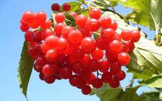 Калина червона — корисні властивості і протипоказання до прийому ягід, кори, відео