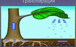 Транспірація у рослин — добовий хід, інтенсивність, відео