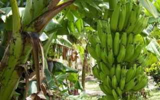 Як ростуть банани: опис, нюанси цвітіння, плодоношення, відео