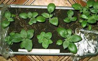 Вирощування картоплі з насіння — один із способів поліпшення врожаю, відео