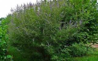 Вітекс священний. Авраама дерево. Догляд, вирощування, розмноження. Лікарські рослини. Декоративно-квітучі. Корисні властивості. Застосування. Фото.