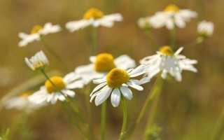 Ромашка аптечна — корисні властивості, вирощування. фото