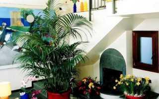 Перистолисті пальма Ховея — догляд в домашніх умовах, підгодівлі, грунт, відео