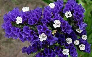 Статиця квітка. Опис, особливості, види і догляд за статіце