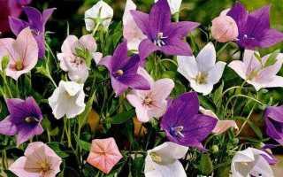 Платикодон квітка. Опис, особливості, види і догляд за платикодон