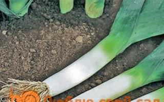 Лук-порей — посадка і догляд у відкритому грунті. Вирощування з насіння. Коли садити на розсаду