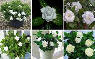 Догляд за гарденією — ретельний вибір рослини, правильний полив і температура повітря, відео