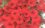 Огляд петунії каскадної «Аморе Міо» від Агроуспех, опис та рекомендації з вирощування