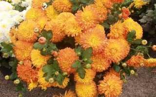 Вирощування жовтих хризантем, особливості догляду та зимового зберігання, відео