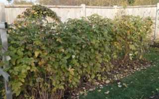 Догляд за Ожиномалина восени, обрізка, обробка, укриття, відео