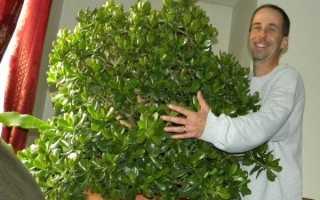 Грошове дерево — догляд в домашніх умовах, як посадити толстянку, відео