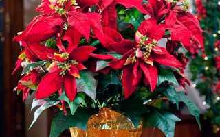 Пуансеттия — правила догляду для успішного цвітіння рослини, відео