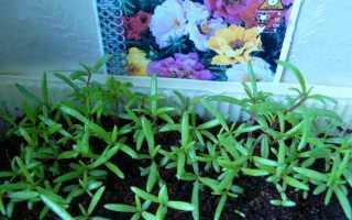 Вирощування квіткового портулаку через розсаду, термін посіву, відео