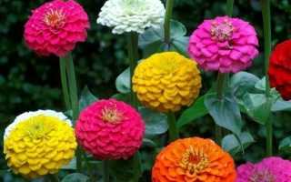 Циния квітка. Опис і догляд за цініей