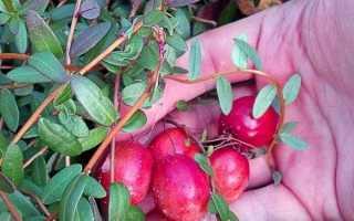 Великоплідні сорти журавлини — короткий огляд, порівняння врожайності, відео