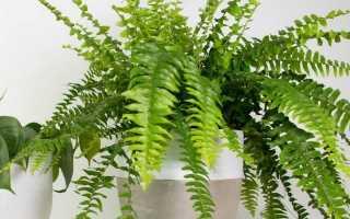 Кімнатний нефролепис — благородний папороть, що очищає повітря. Догляд в домашніх умовах. фото