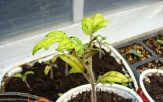 Чому жовтіє листя у помідор: фото, відео, як боротися ніж лікувати, причини пожовтіння
