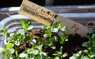Вирощування розсади иберис для раннього цвітіння, відео
