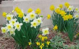 Як доглядати за нарцисами. секрети вирощування в саду, відео