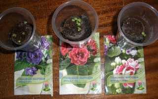 Як виростити глоксинію з насіння: посів, догляд за розсадою, відео
