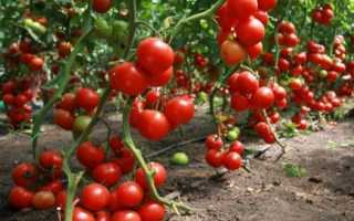 Сорти помідорів для теплиць — Уралу, Сибіру, відео