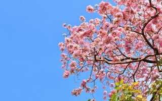 Яку сакуру вибрати для свого саду? Види і сорти. фото