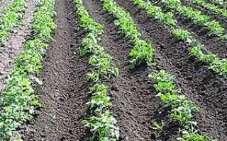 Чому не проростає картопля на грядках — проблема і її рішення + відео