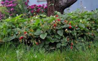 Суниця Рюген — опис сорту, вирощування з насіння, посадка і догляд, відео