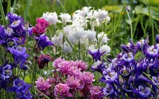 Аквілегія — фото квітів гібридної, махрової, звичайної аквилегии, відео
