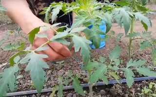 Томати та огірки в теплиці — способи підв'язки рослин, відео