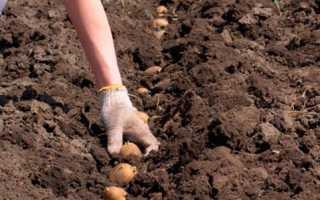 Коли садити картоплю у відкритий грунт за місячним календарем 2020