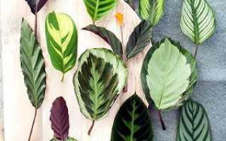 Квітка калатея — фото з описом видів, Крокат, Медальйон, Варшевіча, шафран, Сандеріана, Смугаста, Мако, відео