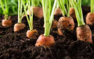 Основні хвороби моркви, як їх попередити і чим удобрити коренеплоди