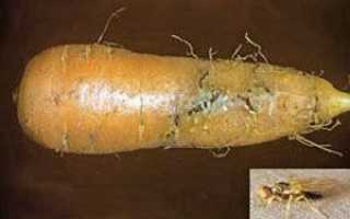Боротьба з морквяним шкідниками — лікування, відео