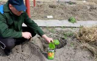 Як правильно садити виноград: вибір часу і місця, підготовка ями, відео