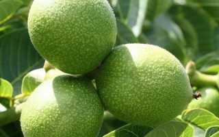 Волоський горіх Ідеал — опис сорту, посадка і вирощування горіха саджанцями або насінням, відео
