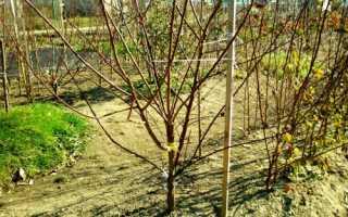 Чому не цвіте трирічний абрикос: причини проблеми та шляхи їх вирішення, відео