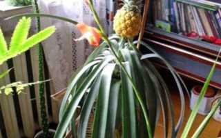 Як виростити ананас в домашніх умовах з верхівки, догляд, відео