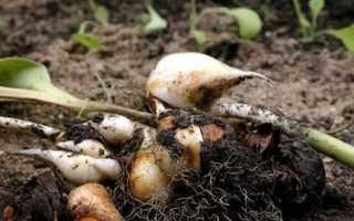 Коли викопувати цибулини тюльпанів після цвітіння, терміни Навіщо і як правильно зберігати і садити
