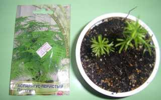 Аспарагус — спосіб розмноження насінням, догляд, відео
