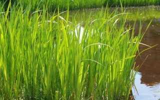 Аїр болотний, або Аїр звичайний. Опис. Корисні властивості. фото
