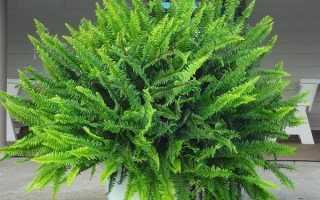 Нефролепіс папороть рослина. Опис, особливості, види і догляд за нефролепісом