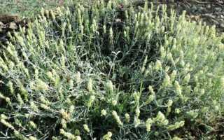 Железница — лимонний аромат для альпійської гірки. Вирощування, догляд, розмноження. фото