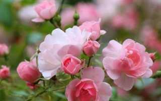 Роза кімнатна. Опис, особливості, види і догляд за кімнатної трояндою