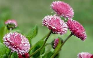 Маргаритки квіти. Опис, особливості, догляд і види маргариток