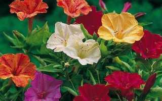 Мірабіліс квітка. Опис, особливості, види і догляд за мірабіліс