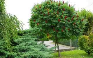 Дерево сумах — правила догляду, вирощування в саду, відео