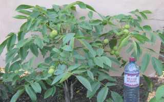 Догляд за волоським горіхом: особливості проведення заходів, відео